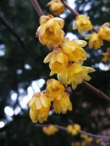 fiori di calicanto, pianta con fioritura precoce
