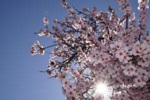 Albero di mandorlo in fiore
